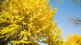 Full yellow ginkgo leaf on tree with blue sky  background in osa Royalty Free Stock Photos