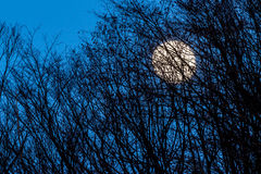 Full yellow moon with medium dark blue sky behind some trees Royalty Free Stock Photos