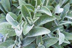Fulla öron för lamb's för byzantina för ramnärbildStachys eller den dekorativa växten för ullig hedgenettle växer i växt- trädg arkivbilder