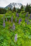fulla lavendelar för blom Royaltyfri Fotografi