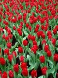 fulla tulpan för blom arkivbilder