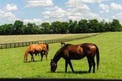 Fullblod som betar på en Kentucky hästlantgård arkivfoton
