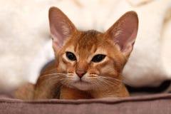 Fullblods- Abyssinian katt Royaltyfri Bild