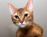 Fullblods- Abyssinian katt Arkivbilder