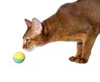 Fullblods- Abyssinian katt Arkivfoto