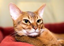 Fullblods- Abyssinian katt Royaltyfria Bilder