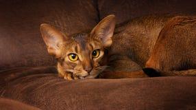 Fullblods- abyssinian katt som ligger på den bruna soffan arkivbild