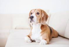 Fullblods- beaglehund som ligger på den vita soffan i lyxigt hotellrum Arkivfoton