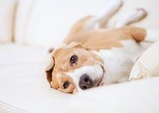 Fullblods- beaglehund som ligger på den vita soffan i lyxigt hotellrum Arkivfoto