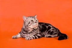 Fullblods- brittisk katt Royaltyfri Fotografi