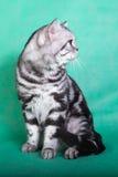 Fullblods- brittisk katt Royaltyfria Foton