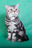 Fullblods- brittisk katt Arkivfoton