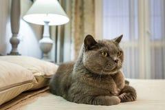 Fullblods- brittisk Shorthair blå kattunge på säng i dyr inre arkivfoto