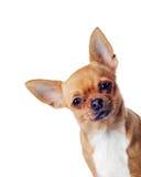 Fullblods- chihuahuahund som isoleras på vit bakgrund Fotografering för Bildbyråer