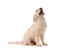 Fullblods- golden retrieverhund Arkivbilder