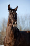 Fullblods- häst Royaltyfria Bilder