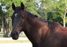 Fullblods- häst Royaltyfri Fotografi
