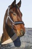 Fullblods- häst som poserar i den stabila dörren på djur lantgård i blan arkivfoto