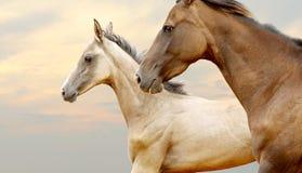 Fullblods- hästar Royaltyfri Foto