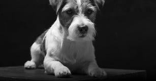 Fullblods- Jack Russell ligger på en sockel i studion och ser kameran royaltyfria foton