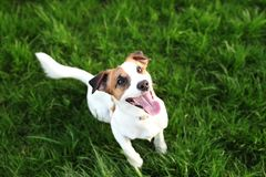 Fullblods- Jack Russell Terrier hunddet fria på naturen i gräset på en sommardag Den lyckliga hunden sitter i parkerar royaltyfria foton