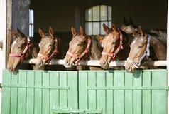 Fullblods- kastanjebruna kapplöpningshästar som ser över ladugårddörren Arkivfoton