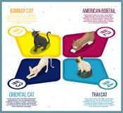Fullblods- katter isometriska Infographics royaltyfri illustrationer