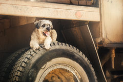 Fullblods- lockig brun hund som ligger på gummihjulet Royaltyfri Foto