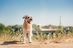 Fullblods- lockig röd och vit hund i sommar arkivfoto