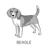 Fullblods- stående hund för beagle Royaltyfria Bilder