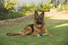 Fullblods- tysk herde Dog för vuxen man Arkivfoto