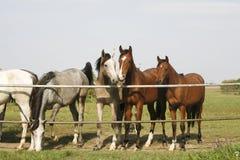 Fullblods- unga hästar som står på de fullblods- unga hästarna för fållaport som två står på fållaporten royaltyfria foton