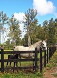 Fullblods- vit häst med den svarta hingstfölet Royaltyfria Foton
