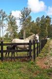 Fullblods- vit häst med en charmig svart hingstföl Arkivfoton