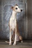 Fullblods- whippethund inomhus royaltyfria bilder