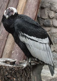 fullface andyjski kondor na fiszorku Fotografia Stock