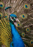Fullface of peacock male in the park Royalty Free Stock Photos