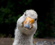 Fullface portrait of curiously looking goose Royalty Free Stock Images