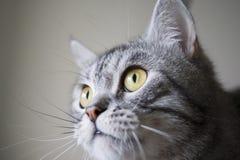 Fullfaced Katze Stockfotografie