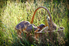 Fullfilled basket with mushrooms in the forest Stock Photos