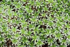 Fullframe background of milkvetch leaves.  Stock Images