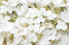 Fullframe background of white hortensia flowers. vintage retouch. Of image Royalty Free Stock Images