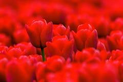 Fullframe-Hintergrund von roten Tulpen im Frühjahr Stockfotografie