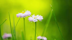 FullHD video of daisy  close-up stock footage