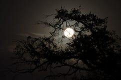 Fullmåne bak tree Arkivfoton