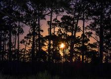 Fullmåneresning i skurningspinjeskogen arkivbild