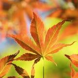 Красочный молодой японец Fullmoon, кленовый лист Стоковое Изображение RF