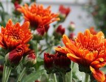 Fullsatt orange Mum royaltyfri fotografi