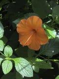 Fullständigt blommad hibiskus royaltyfria foton