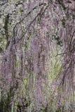 Fullständigt blommat gråta körsbärsröd blossomsshidarezakura på samurajområdet av Kakunodate, Akita, Tohoku, Japan i vår Arkivbilder